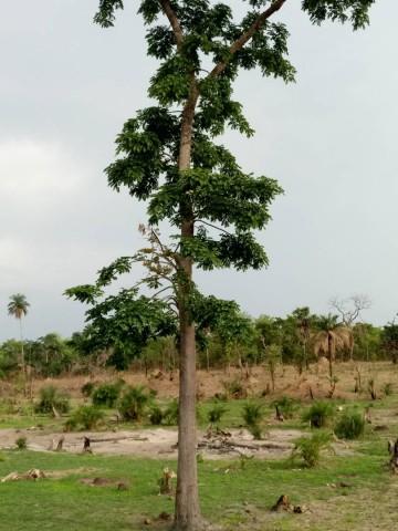 Statut de conservation et impact de l'exploitation sur les populations de Detarium senegalense J.F. Gmel au Bénin.