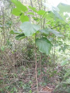 Caractérisation écologique et morphogénétique de Mansonia altissima (A. Chev.)