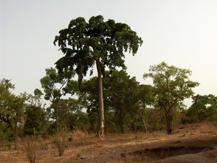 Sustainable management of the remnant iroko populations in Benin: Structural characterization, morphological and genetic variation, and conservation strategies.