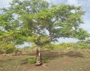 Importance socio-économique et caractérisation structurale, morphologique et génétique moléculaire de la prune rouge (Haematostaphis barteri Hook F.) au Bénin.
